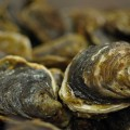 Picture of native oyster