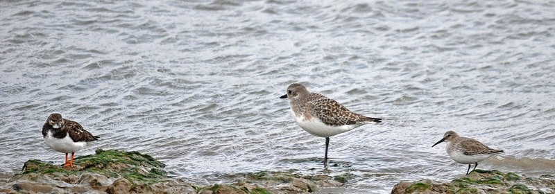 Dunlin and grey plover