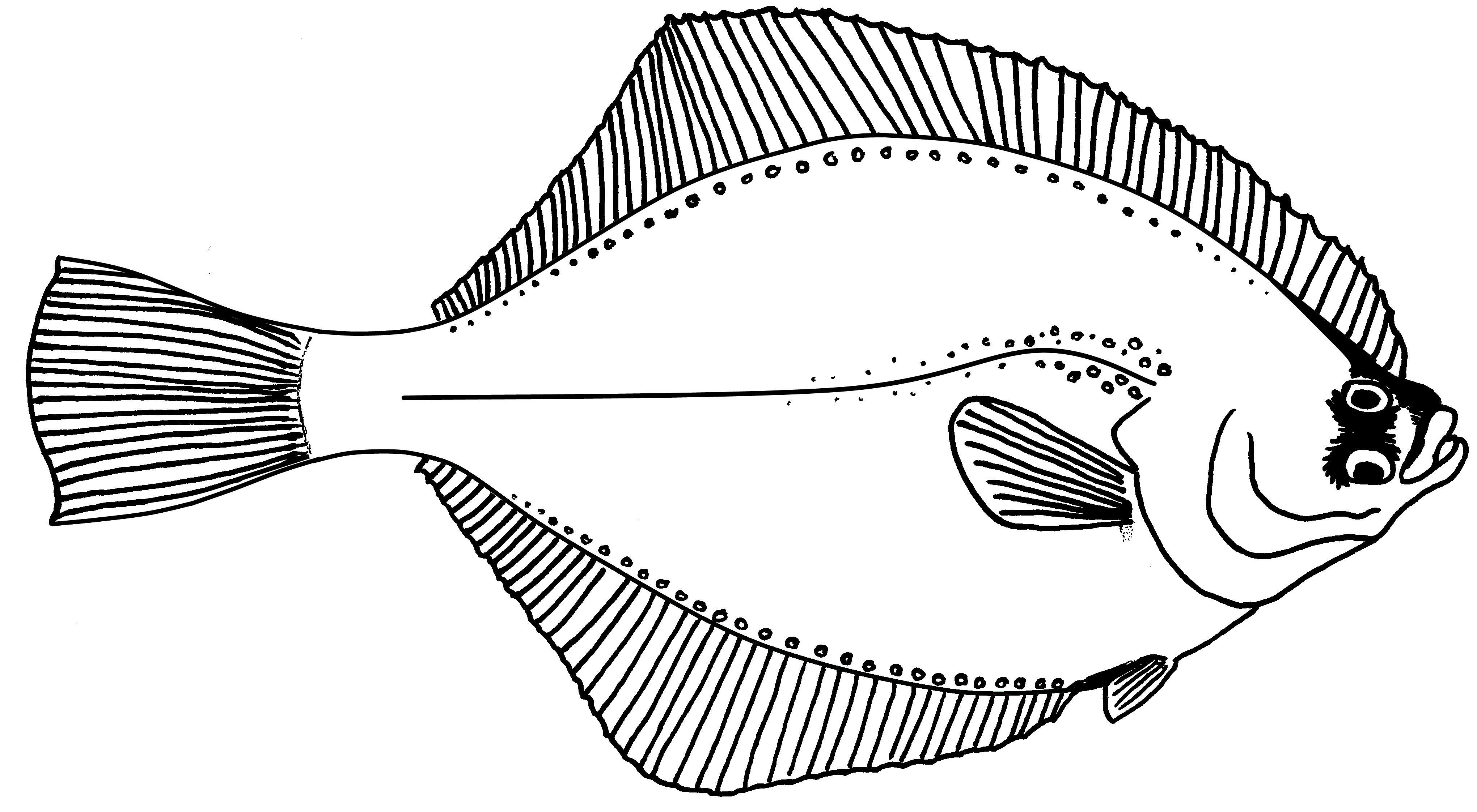 Flounder drawing